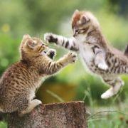 Lucha felina