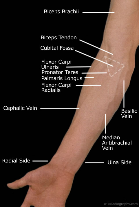 Elbow surface anatomy