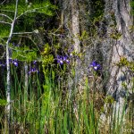 Wild iris  on the Suwanee Canal tour