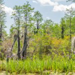 Spanish moss and wild iris  on the Suwanee Canal tour