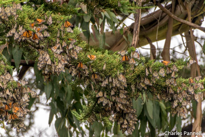Monarchs Emerge From Hibernation Along Northern California Coast
