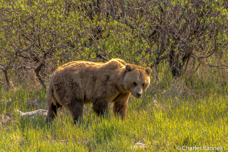 Grizzly bear at the Alaska Wildlife Conservation Center