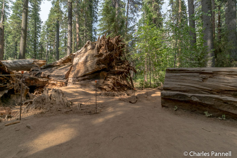 The fallen Pioneer Tree at Calaveras Big Trees State Park
