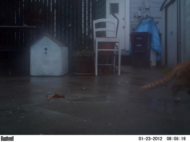 Orange cat at dawn after a rain