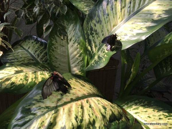 30-butterfly-garden-dubai-pictures-2015-emiratesdiary-030