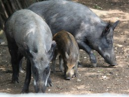Wart Hogs at ZSL Whipsnade Zoo