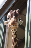 Giraffe at ZSL Whipsnade Zoo