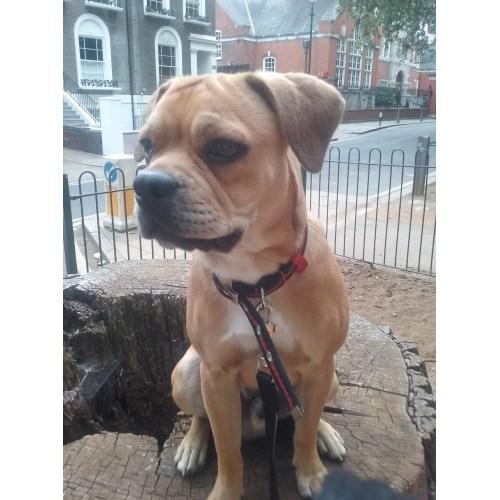 Medium Crop Of Boston Terrier Pug Mix