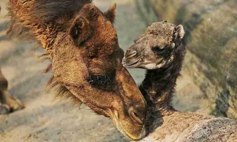 camello_emprendedor