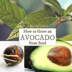 Startling Dirt How Long Do Avocados Last Freezer How Long Do Avocados Last On Counter How To Grow An Avocado From Seed Easy Method Empress