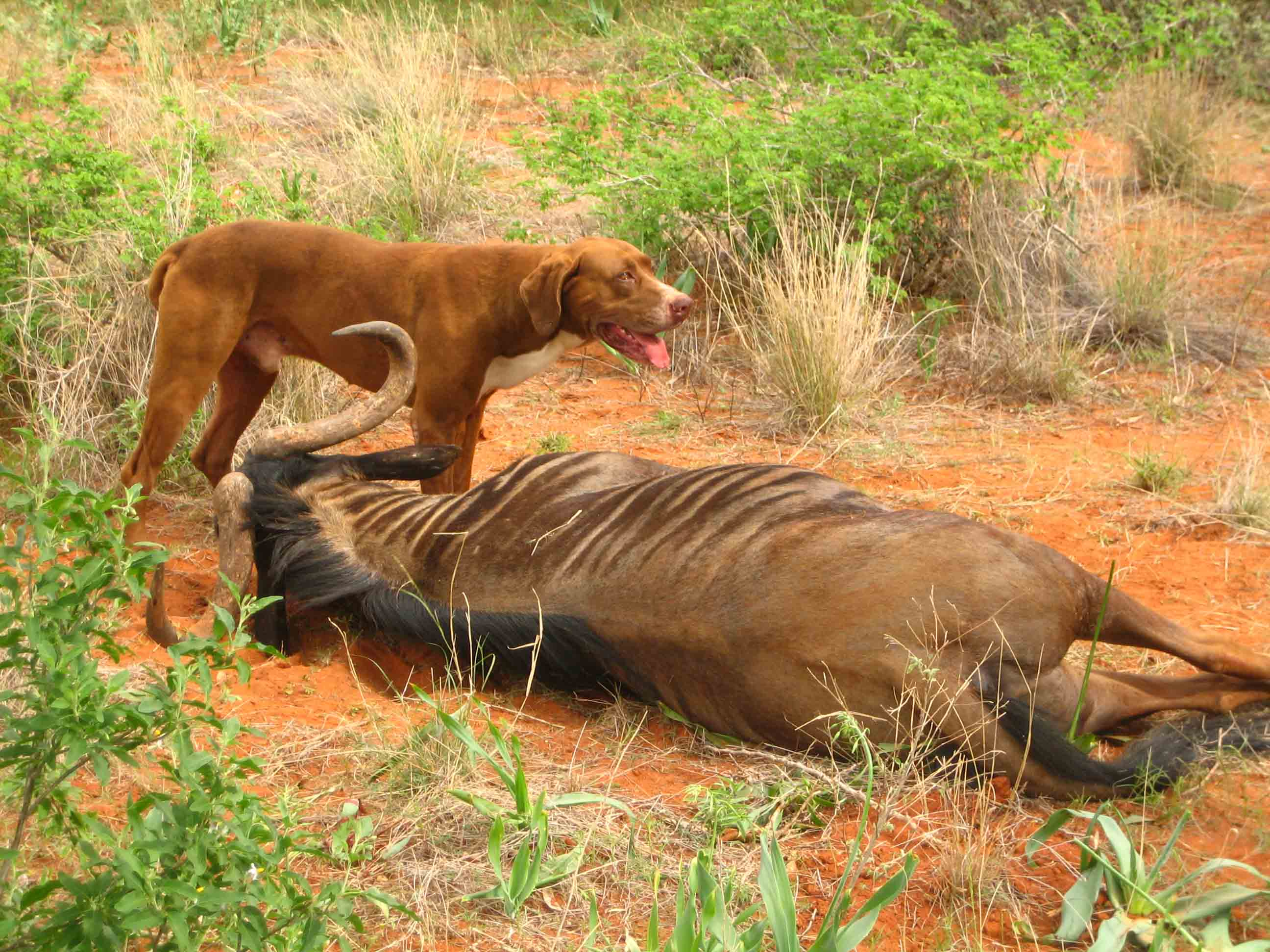 Fun Hunting Africa Lion Dogs Dogs Dreaming Lion Hunting Dog Puppy Lion Hunting Dog Video bark post Lion Hunting Dog