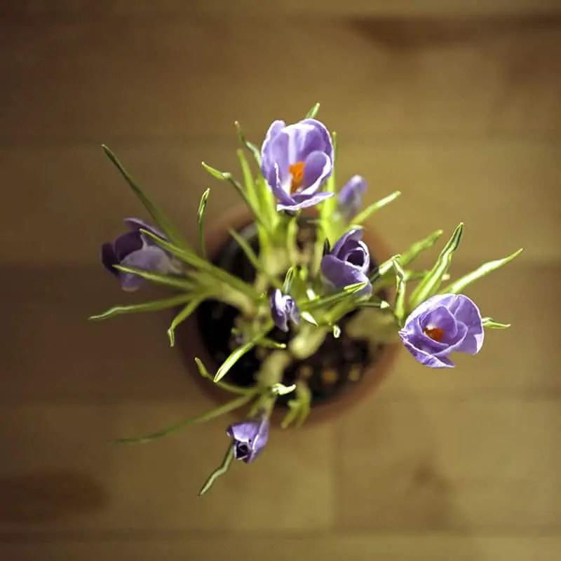 """First Bloom"", Calgary, Alberta - Rolleiflex 3.5F   Rolleinar 2 Close Focus Filter   Kodak Portra 400"