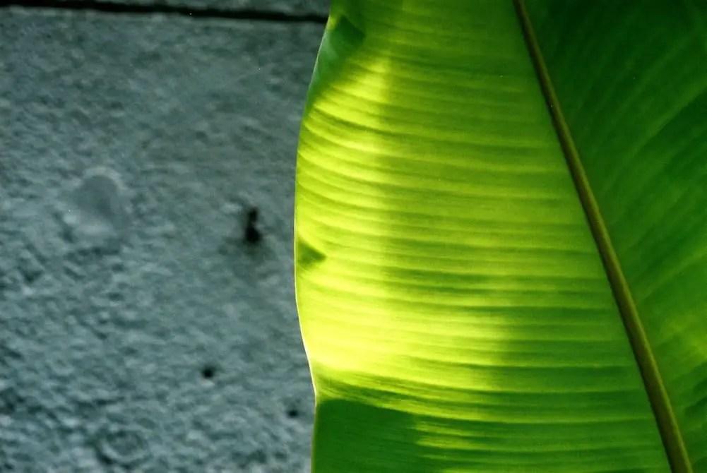 Leaf-ed - AgfaPhoto Vista Plus 200 - Leica M6, Canon 50/1.5