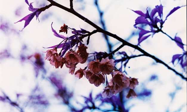 Purple Sakura – Lomochrome Purple XR 100-400