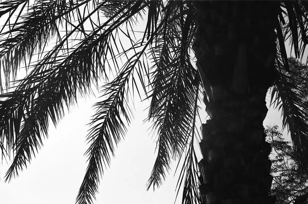 """Palm Tree Silhouette"", Dubai, April 2014 -Ilford HP5+ / Zeiss IKON ZM / Zeiss 50mm f/1.5"