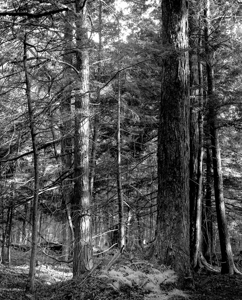 Hemlocks, Second Land - Mamiya RB67, ILFORD FP4+