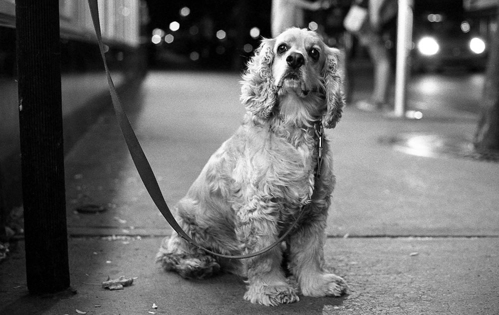 Street Puppy - Montreal apartments are poorly insulated so I often beat the summer heat by taking to the streets at night. Olympus OM-1, Ilford Delta 400 Professional at EI 1600