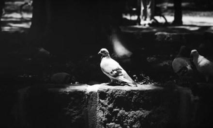 King Pidgey – Shot on FILM Ferrania FERRANIA P30 Alpha (35mm)
