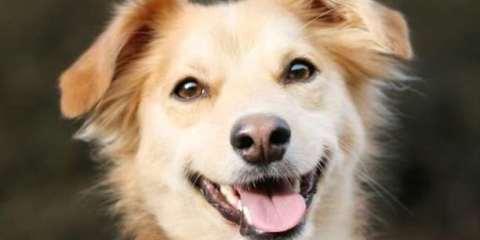 σκύλος χαμόγελοσ ζώα