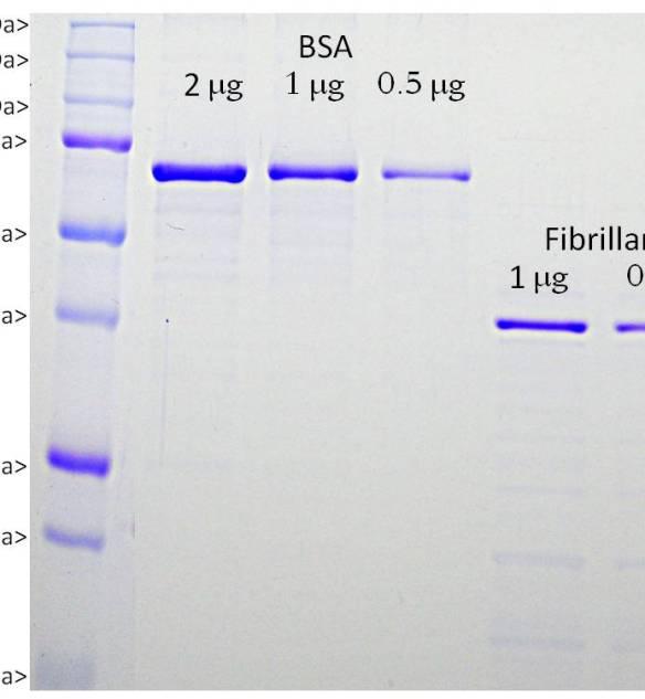 Fibrillarin Protein