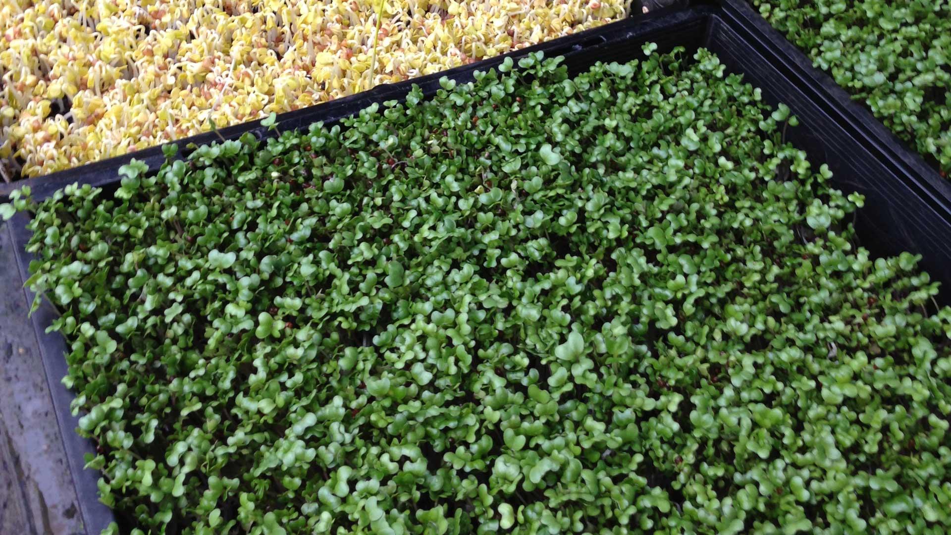 Broccoli-Sprouts-21