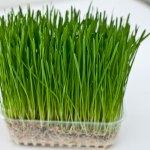 Barley-022
