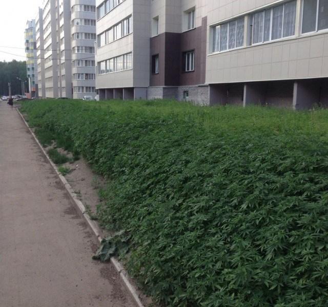 Plantan marihuana en un jardín público por error.