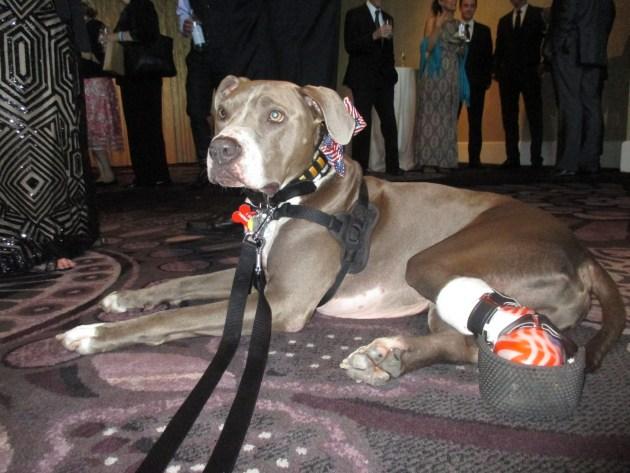 Hudson, Hero Therapy Dog