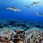 sharks-and-corlas-pitcairn-waters