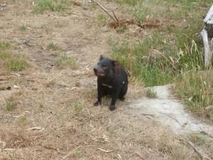 diable-tasmanie