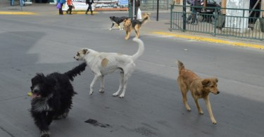 perros-aysen