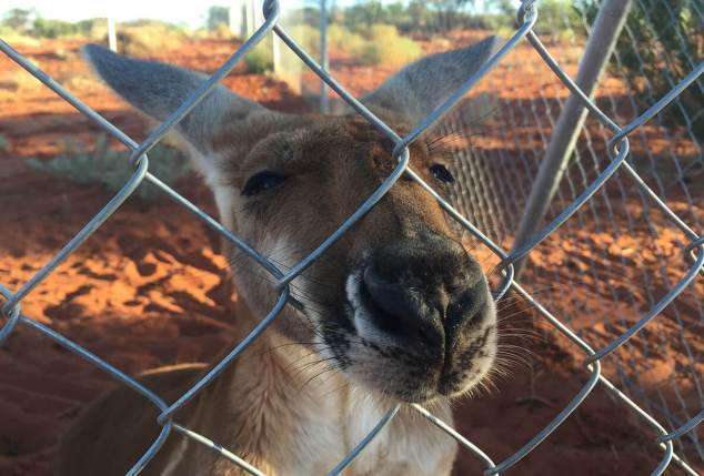 Kangaroo Farm