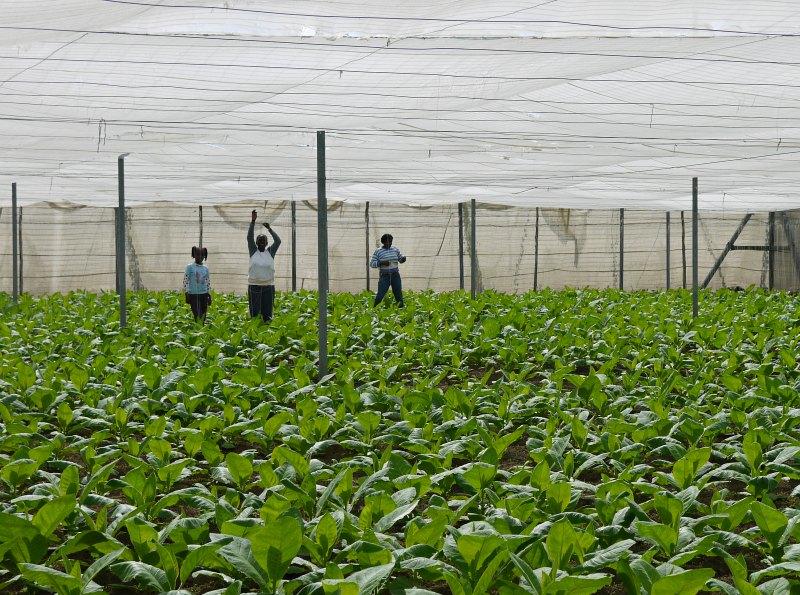 Tabakplantagen in Kuba