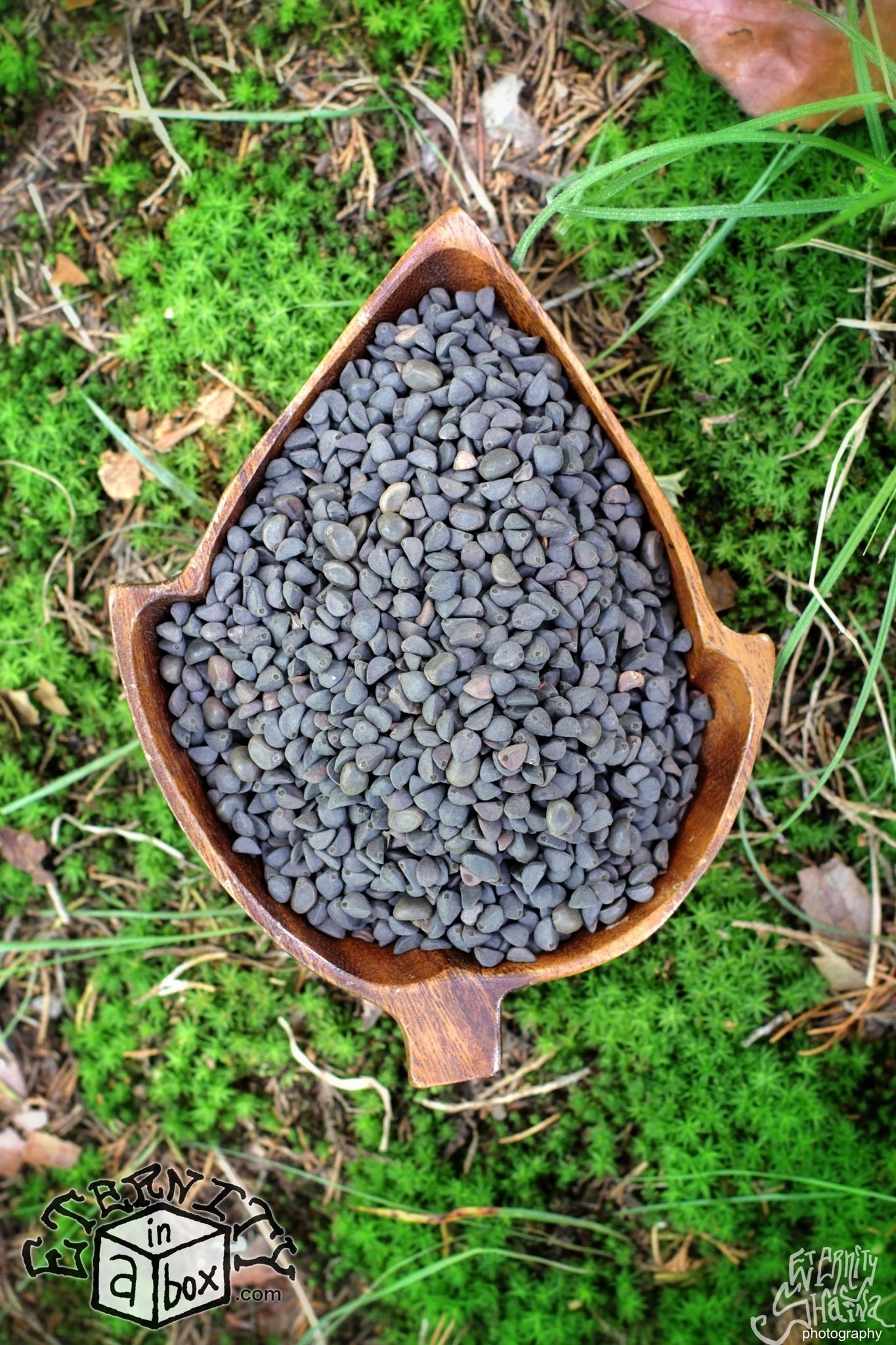 Fullsize Of Morning Glory Seeds