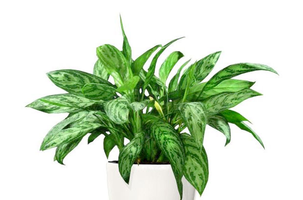 Healthiest Plants For Your Home Ethnic Health Court