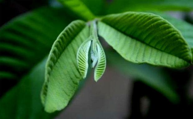 guava leafs