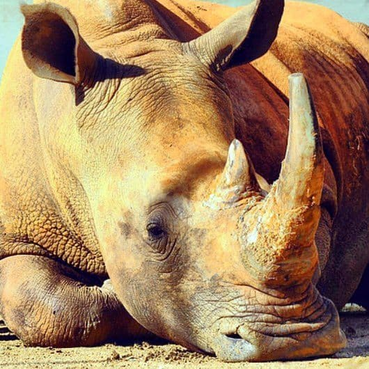 rhino in Australia