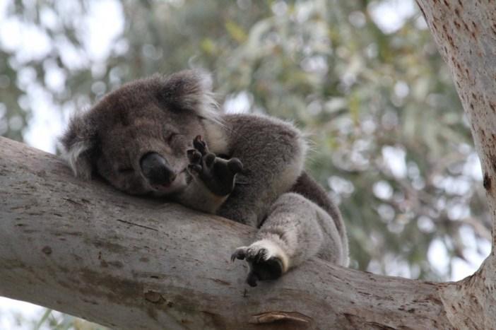 寝相の悪いコアラ
