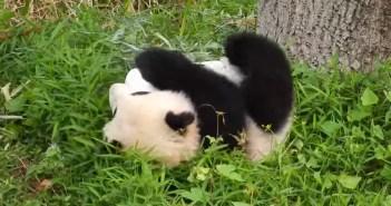 コロコロ転がるパンダ