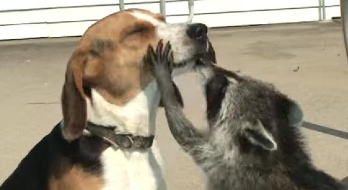 犬とアライグマ