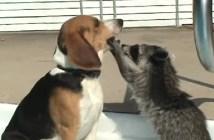 アライグマと犬