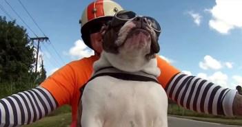 バイクに乗るブルドッグ