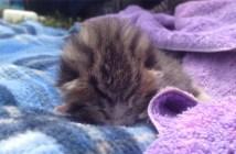 寝ながら鳴く猫