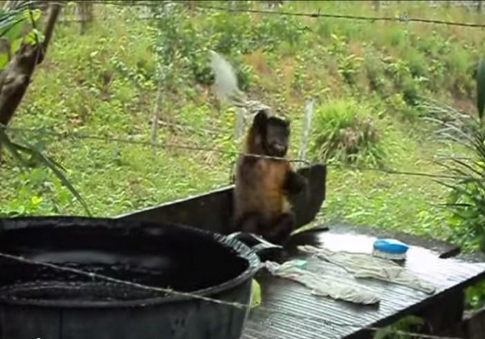 洗濯物を叩きつける猿