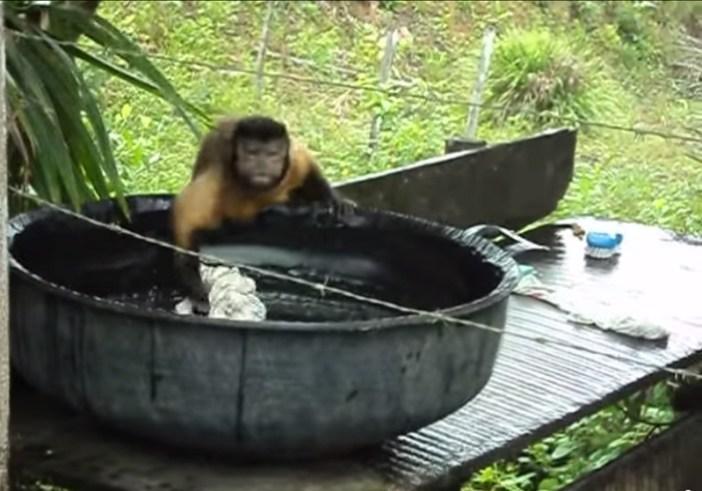 洗濯物を洗う猿