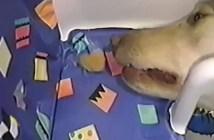 チキンナゲットがとれない犬