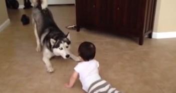 赤ちゃんと遊ぶハスキー犬