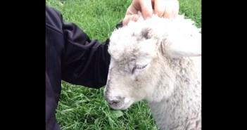 なでなでしてほしい羊