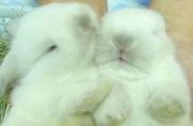お手入れ中のウサギ