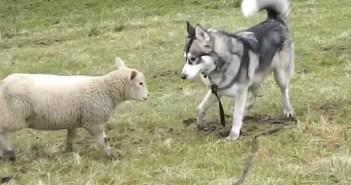 犬と羊の感動の再会